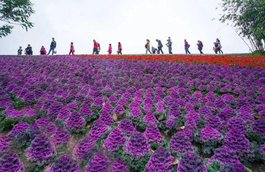 2019元旦去哪里玩?来长泰十里蓝山赏花、摘草莓